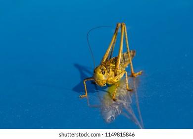 small grasshoper sit on a blue miror