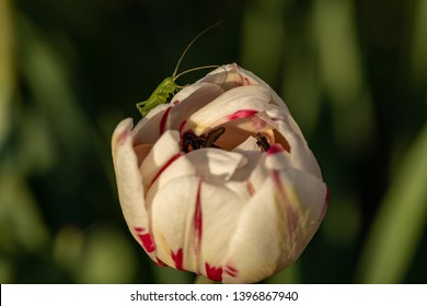 A small grasshopper on a flower. Cute grasshopper on the bud of a tulip. Green grasshopper on white with red tulip bud. Grasshopper closeup.