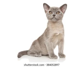 Small gray Burmese kitten on white background