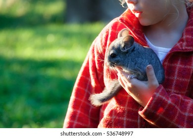The small gray chinchilla sits in the hands of a child
