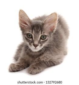 Small gray kitten isolated on white