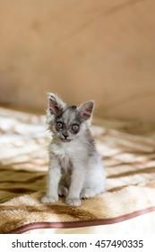 A small gray kitten smiling. Joyful kitten on the couch resting.