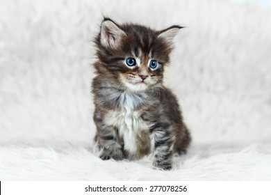 Small gray maine coon kitten with blue eyes posing on white background fur - Shutterstock ID 277078256