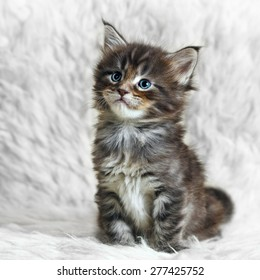 Small gray maine coon kitten posing on white background fur - Shutterstock ID 277425752