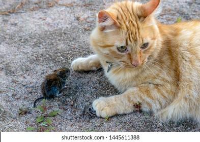 getigerte Katze lauert vor dem Mauseloch cat waits for a mouse Ansichtskarte