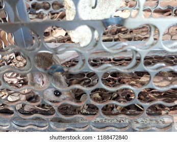 Small gray rat trappen in a trapdoor.