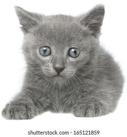 Small gray shorthair kitten sitting isolated on white background.