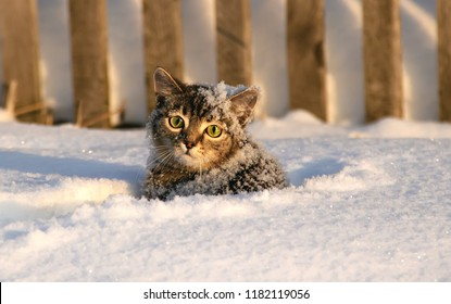 Small gray tabby cat little kitten standing in the snow with an unhappy face