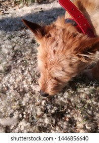 Small great hunter in an area with a high concentration of pollen grain. Concept, allergy in our pets. Breed, Australian Terrier. Brown domestic dog in the field in spring, in full plant pollination.