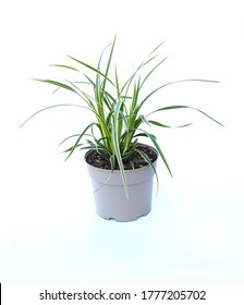 A small green carex oshimensis plant in the soft gray plastic flower pot. Carex.Oshimensis 'Evergold', fountains of delicate foliage and flowers are good foils for bolder plants. idea plant for garden