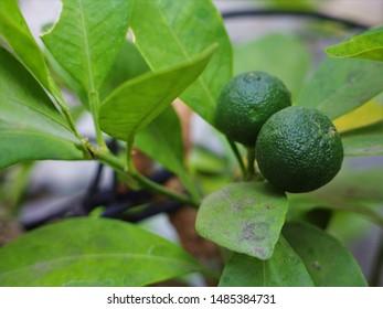 Small green citrus fruits on a garden