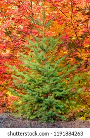 Small Green Evergreen Tree with Beautiful Bright Yellow, Red, Orange Fall Colors in the Background.