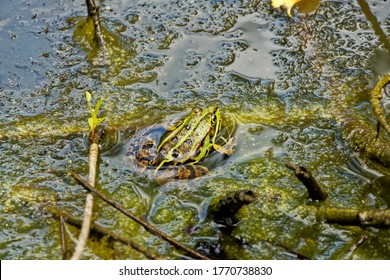 Small green frog in the middle of sticky green algae in a pond