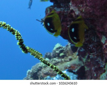 A small green goby clings to a sponge off Lanai.