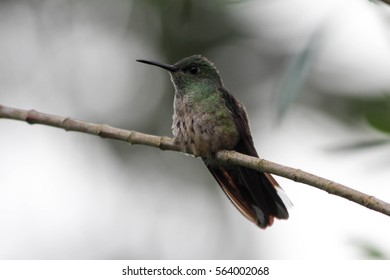 Small green humming bird sitting a branch with green background