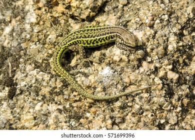 Small Green Italian Wall Lizard Podarcis siculus, basking in sunshine on rock in Sardinia