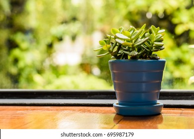 A small green jade plant or succulent or cactus in a pot under natural light with natural bokeh background and copy space for text.