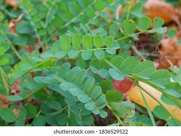 Small green leaves, Senegalia greggii, in Southern Minnesota, in Autumn/Fall