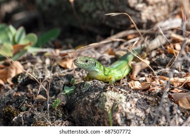 Small green lizard, closeup.