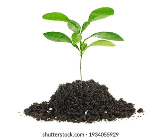 Small green plant in a mound of soil on a white background. Citrus plant.