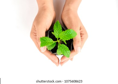 Small green sapling. Care in the palm of my hand. on white background.