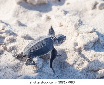 Small green sea turtle (Chelonia mydas), also known as black (sea) turtle, or Pacific green turtle on his way to the sea on a beach in Tanzania, Africa, shortly after hatching from his egg.