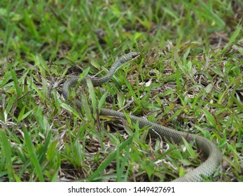 Small green snake slithering on carabao grass