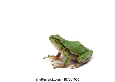 small green tree frog on white background