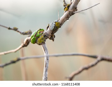 small green tree frog sitting on a twig of a tree on a soft colorful background - Burgenland Austria
