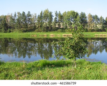 small green tree growing on the bank of a pond in summer