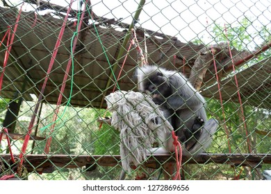 small grey ape looks for flees in mop head