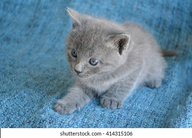 Small grey blue kitten looking to the side