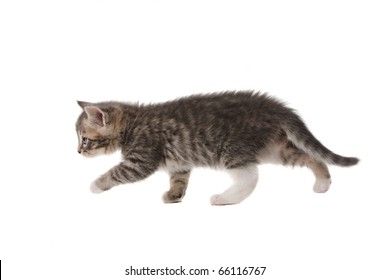 Small grey kitten isolated on white background
