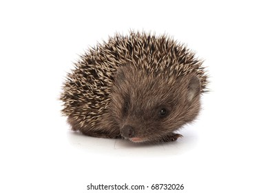 small grey prickly hedgehog looks at me