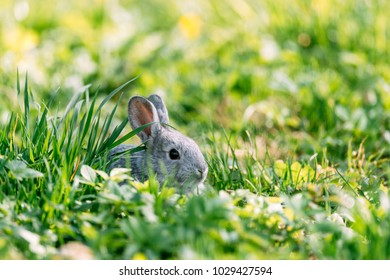 Small grey rabbit in green grass closeup. Can be used like Easter background. Animal photography