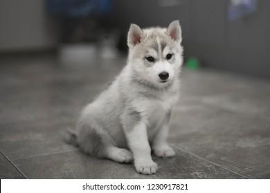 Small grey siberian husky puppies