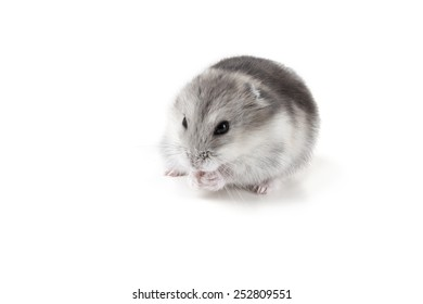 small grey and white hamster