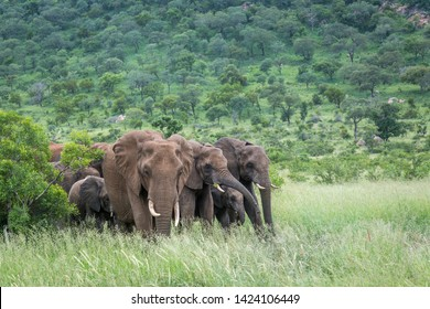 Small group of African bush elephant in green savannah in Kruger National park, South Africa ; Specie Loxodonta africana family of Elephantidae