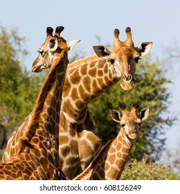 A small group of giraffes, including a very young one, stand together in Kruger National Park in South Africa