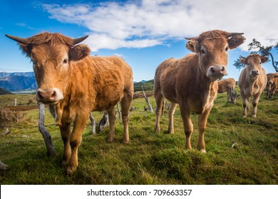 Small Group of Horned Brown Cows on Green Meadow
