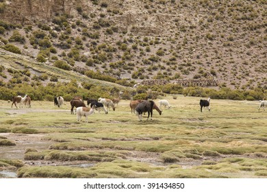 Small group of llamas grazing