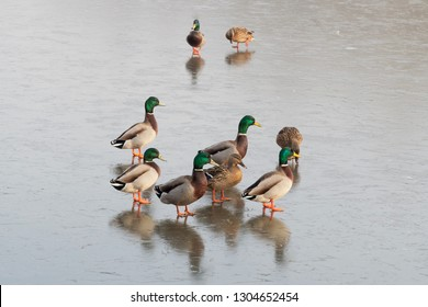 A small group of male and female Mallard ducks standing on the frozen surface of a lake