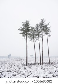 small group of pine trees in winter landscape of leusder heide near utrecht and amersfoort in the netherlands