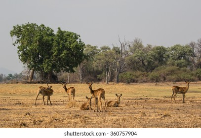 A small group of puku antelope (Kobus vardonii) grazing and relaxing on a dry floodplain. South Luangwa National Park, Zambia, Africa.