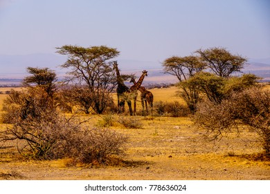 """a small group of three giraffes """"camouflaged"""" by trees in the african savannah national park serengeti in tanzania"""