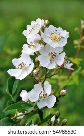 Small group of wild multiflora roses