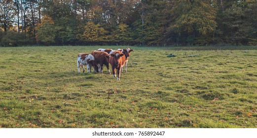 Small group of young cows in meadow lit by low autumn sunlight.