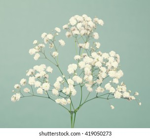 Small gypsophila (baby's-breath) flowers on a soft green background