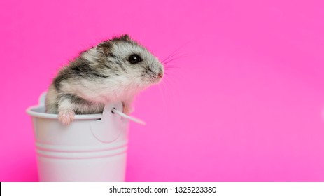 71bde09b7f8 Small hamster in white decorative bucket on pink background with copy  space. Gray Syrian hamster