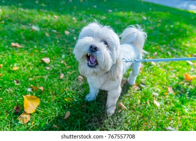 Small happy dog playing in the  green grass in park  outside, summer time